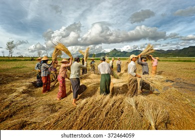 Myanmar, Taunggyi. 18 november. Unidentified farmers work in rice field on November 18, 2015 in Taunggyi, Myanmar