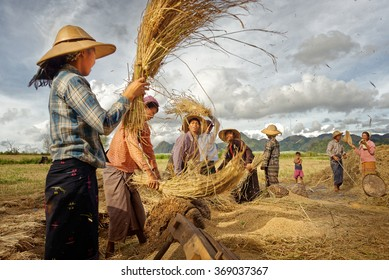 Myanmar,Taunggyi. 18 november. Unidentified farmers work in rice field on November 18, 2015 in Taunggyi, Myanmar. Rice is more than just the staple food; it is an integral part of the myanmar culture.