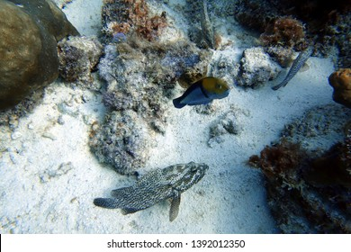 Mycteroperca bonaci or black grouper is one of the best known of the large group of perciform fish called groupers. Other common names include black rockfish, bonaeci arara, and marbled rockfish.