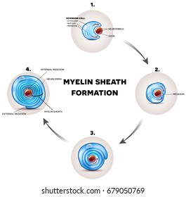 myelin sheath formation detailed illustration it surrounds the axon of nerve cell forming fatty