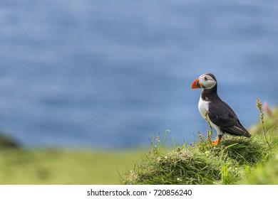 Mykines island, Faroe Islands, Denmark. Atlantic Puffin.