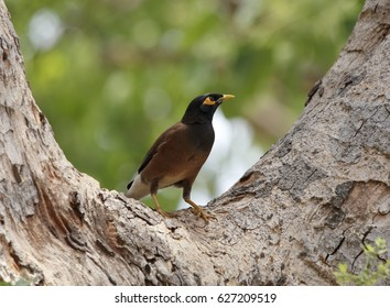 Mynah bird, The myna (also known as mynah) is a bird of the starling family (Sturnidae). This is a group of passerine birds which are native to southern Asia, especially India.
