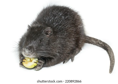 Myocastor coypus, Black Nutria breed as pets; in studio against a white background.