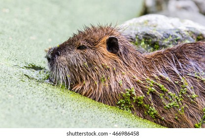 Myocastor coypus, single mammal in it's natural habitat - selective focus