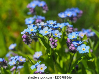 Myosotis alpestris or alpine forget me not is a herbaceous perennial plant in the flowering plant family Boraginaceae. Myosotis arvensis. Small flowering blue flowers in the background of green grass