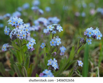 Myosotis alpestris or alpine forget me not is a herbaceous perennial plant in the flowering plant family Boraginaceae. Myosotis arvensis. Small blooming blue flowers in the background of green grass.
