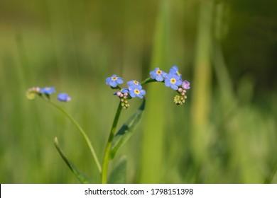 Myosotis scorpioides (syn. Myosotis palustris), water forget-me-not, is an herbaceous perennial flowering plant in  family Boraginaceae. Flowers water forget-me-not (Myosotis scorpioides) macro.