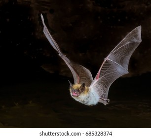 Myotis bat in flight, closeup