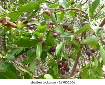 Myrciaria dubia, commonly known as Camu camu, Camucamu, Cacari, is a small (approx. 3–5 m tall) bushy riverside tree from the Amazon rainforest vegetation which bears a red/purple cherry-like fruit.