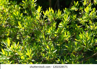 Myrica pensylvanica or bayberry green plant in sunlight