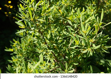 Myrica pensylvanica or northern bayberry green plant in sunlight