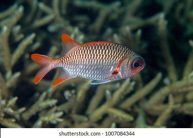 Myripristis violacea is a species of fish in the soldierfish family