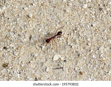 Myrmecia, often called bulldog ants, bull ants, inch ants, sergeant ants, jumper ants or jack-jumpers, a genus of Australian  ants with large pincers and painful bite  inhabit the  bush and forests.