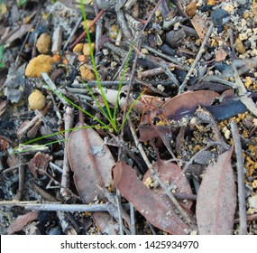 Myrmecia, often called bulldog, bull, inch , sergeant , jumper  or jack-jumpers, a genus of Australian  ants with large pincers and painful bite  inhabit the  bush and forests.