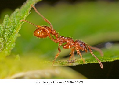 Myrmica rubra, also known as the European fire ant or common red ant, is a species of ant of the genus Myrmica.  European fire ant (Myrmica rubra) close up.