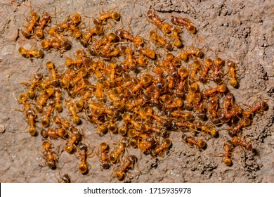 Myrmica rubra, also known as the European fire ant or common red ant.