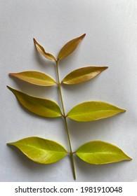 Myrtaceae Syzygium gratum (Wight) S.N.Mitra var. gratum leaves, Young leaves
