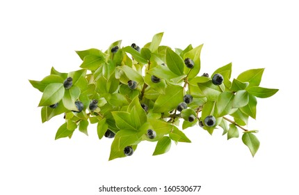 myrtle berries and branch isolated on white