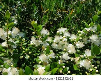 Myrtle in bloom in Sardinia