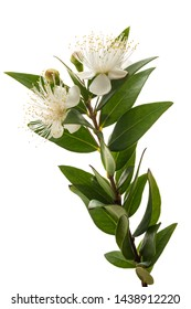 Myrtle branch with flowers isolated on white