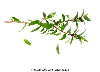 myrtle isolated on white