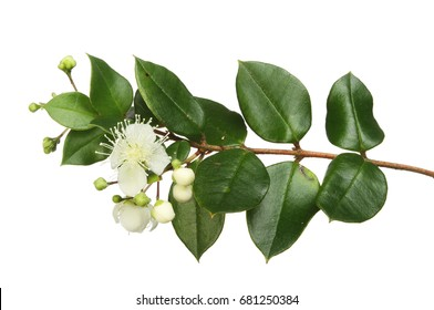 Myrtle, Myrtus, flowers and evergreen leaves isolated against white