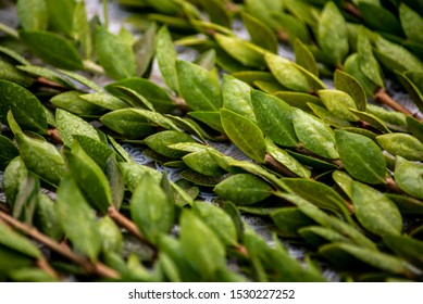 The myrtle is one of the four species of Sukkot, the Jewish traditional holiday. The green myrtle leaves having fragrance but not pleasant taste, represents those who have good deeds.