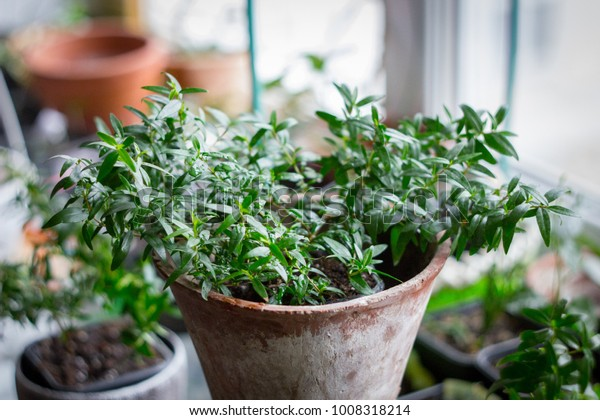 Myrtle plant aka myrtus as house plant standing on window sill at flower pot