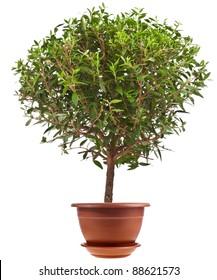 myrtle tree in a flower pot