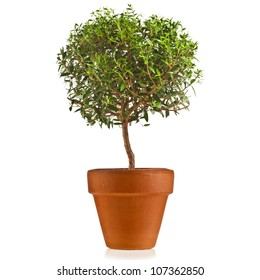 myrtle tree in a flower pot isolated on white