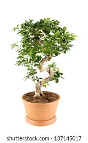 Myrtle tree in in flowerpot. Plant in a pot. Isolated