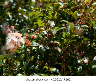 Myrtus communis, common myrtle, is a species of dainty white flowering plant in the myrtle family Myrtaceae being an evergreen shrub used for its leaves and berries.