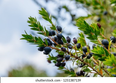 Myrtus communis ( common myrtle ) tree with green leaves and blue black berries
