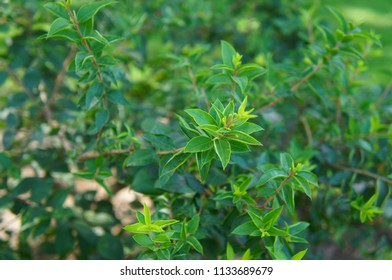 Myrtus or myrtle green shrub