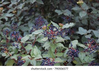 Myrtus - Sweet Myrtle bush with purple berries