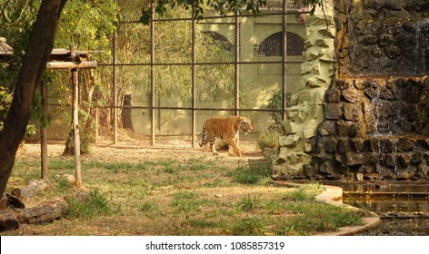 Mysore / India - January 2016: A Royal Bengal Tiger in the Mysore Zoo.