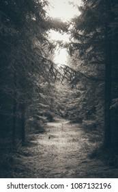 Mysterious coniferous  woods Brdy in Czech Republic.