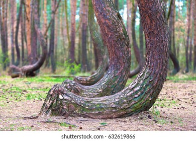 mysterious crooked forest in Gryfino, Poland - shallow depth of field