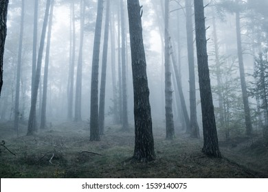 Mysterious dark forest covered in fog.