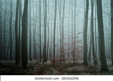 Mysterious foggy forest. Beech trees with brown leafs, green forest bed, gloomy winter landscape.