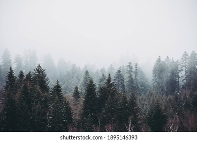 A mysterious foggy forest with tall trees, on a cold morning