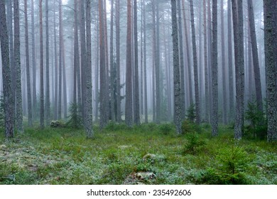Mysterious foggy forest in winter.