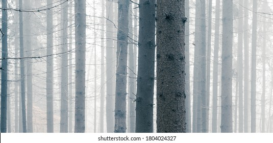 Mysterious foggy spruce forest. Tree trunks at woodland. Wide angle panoramic view.