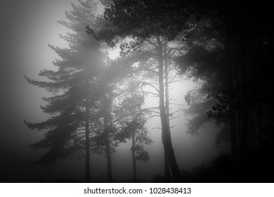 Mysterious foggy woods at dusk. Converted black and white.