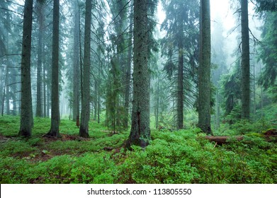 mysterious forest in the fog