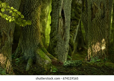 Mysterious forest landscape with old hollowed trees