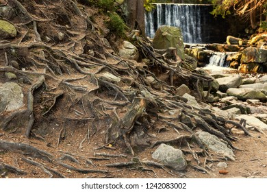 Mysterious forest with old trees, hollows, crooked roots