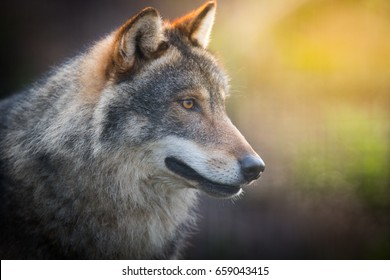 Mysterious Gray Wolf (Canis lupus)