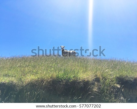 Mysterious Sheep in Green Farmland, New Zealand