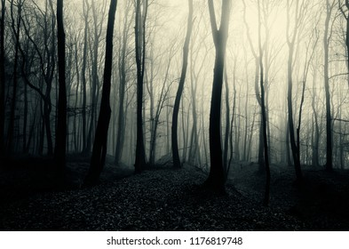 mysterious woods landscape with trees in fog